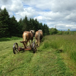 Mowing hay with our ground driven horse drawn mower
